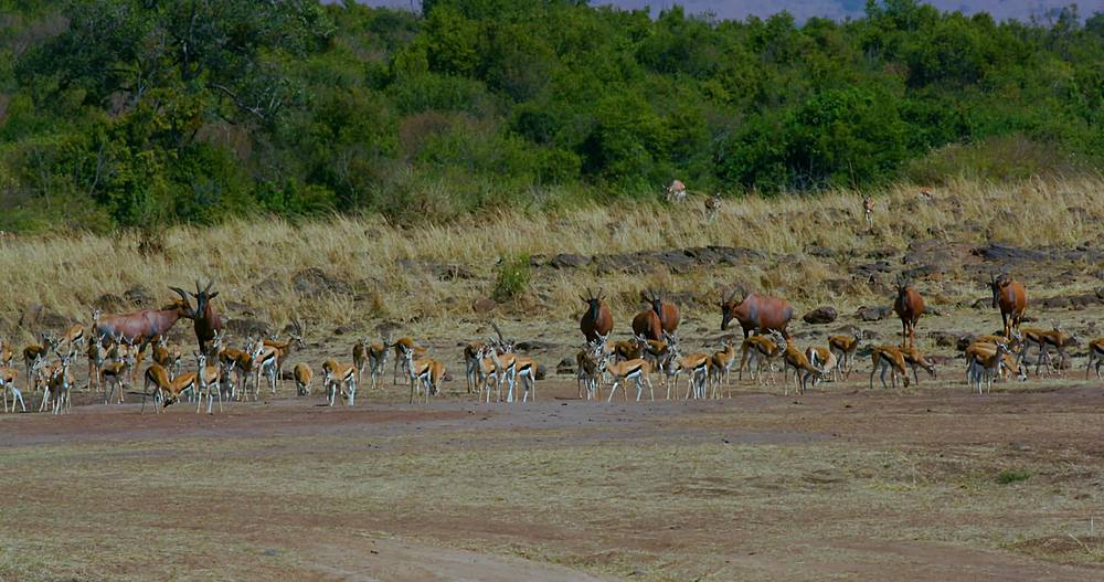 Herd of thomson's gazelles & topi on track; maasai mara, kenya, africa
