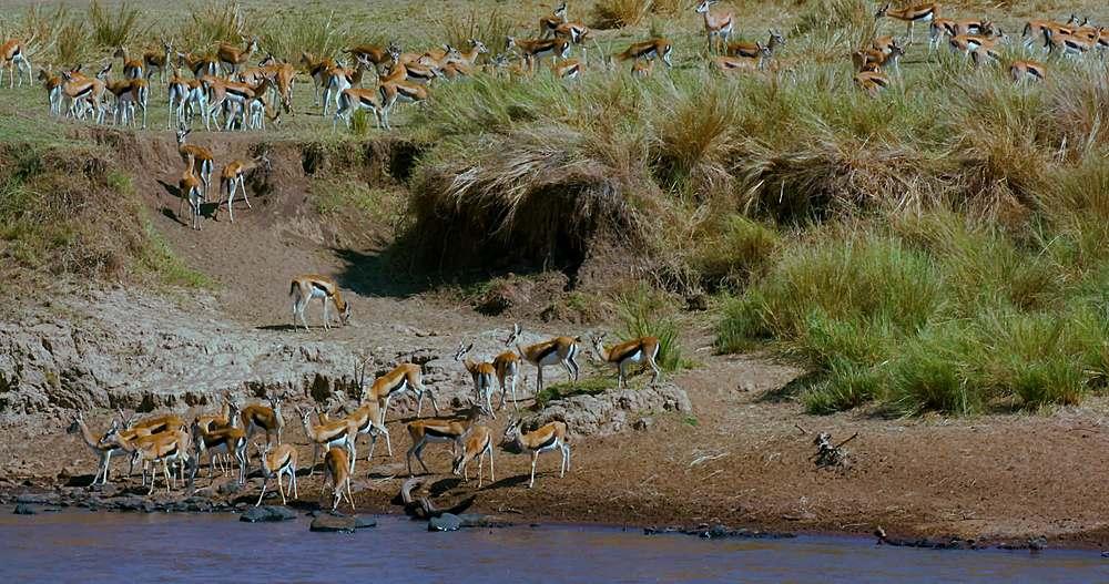 Herd of thomson's gazelles drinking; maasai mara, kenya, africa