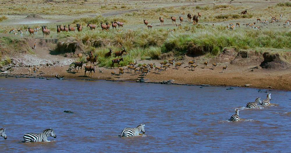 Burchell's zebra crossing mara river & thomson's gazelles drinking; maasai mara, kenya, africa