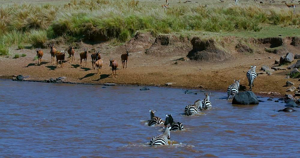 Burchell's zebra crossing mara river & topi watching; maasai mara, kenya, africa