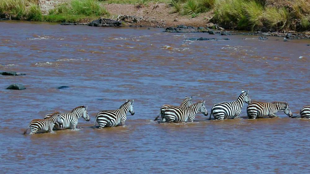 Burchell's zebras cross mara river; maasai mara, kenya, africa