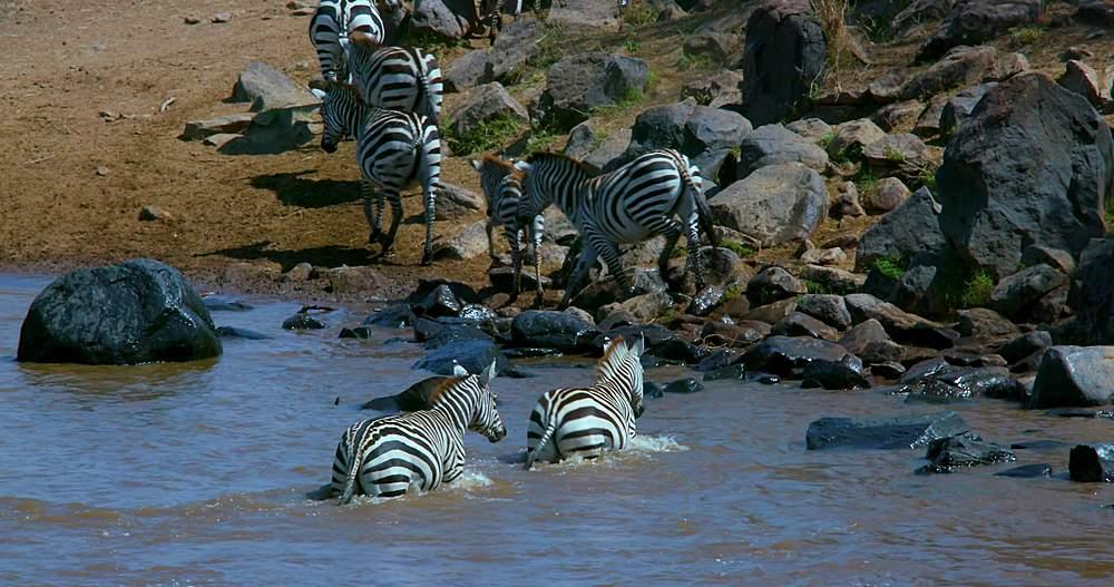 Burchell's zebras exit mara river; maasai mara, kenya, africa