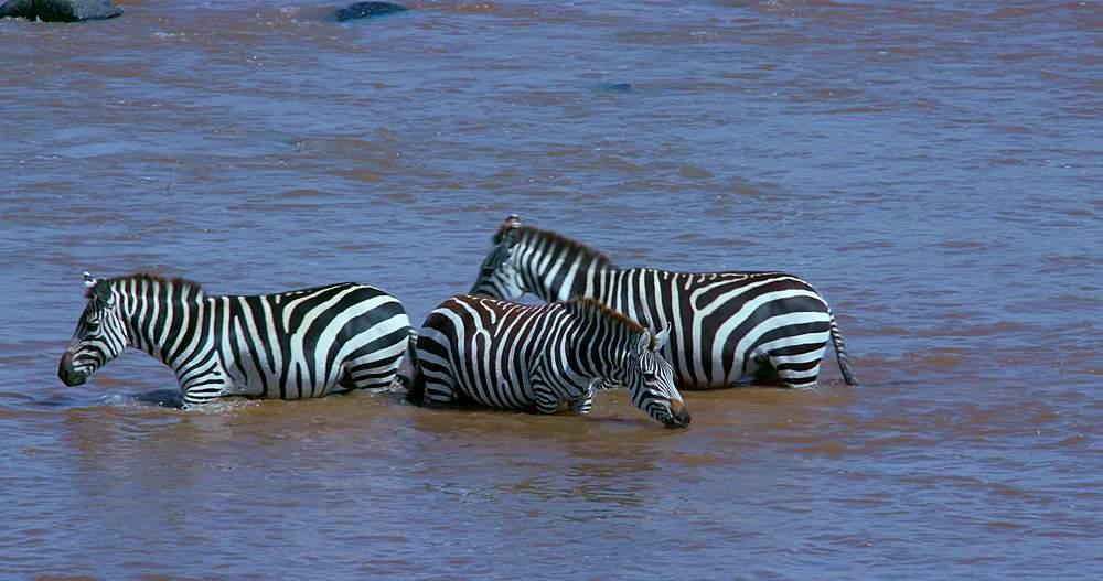 Burchell's zebras drinking in mara river; maasai mara, kenya, africa