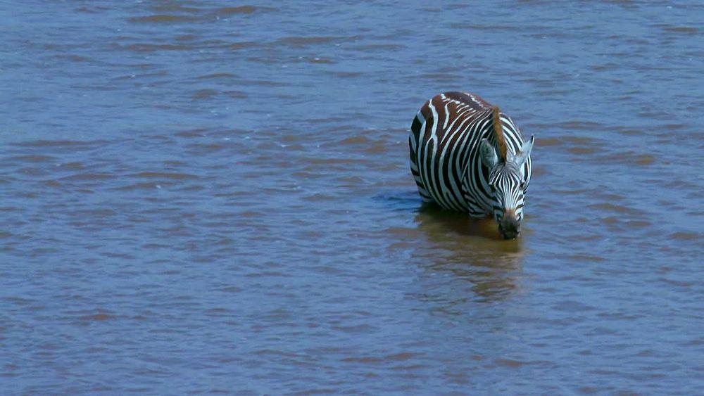 Burchell's zebra drinking in mara river; maasai mara, kenya, africa