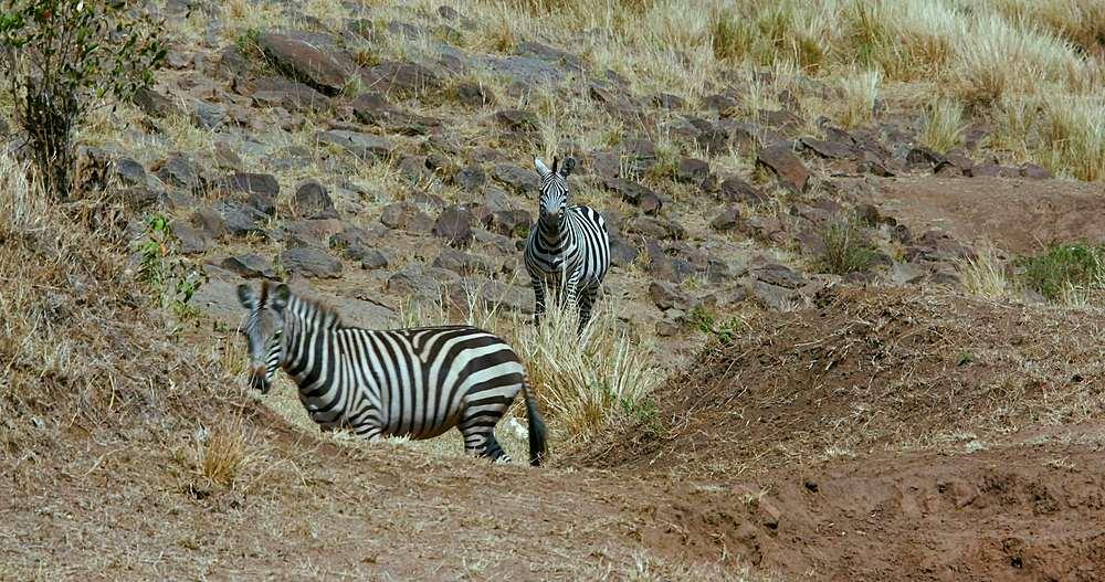 Burchell's zebra walking & observing; maasai mara, kenya, africa