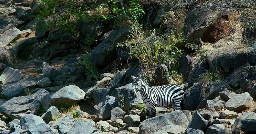 Burchell's zebra observing in rocks; maasai mara, kenya, africa