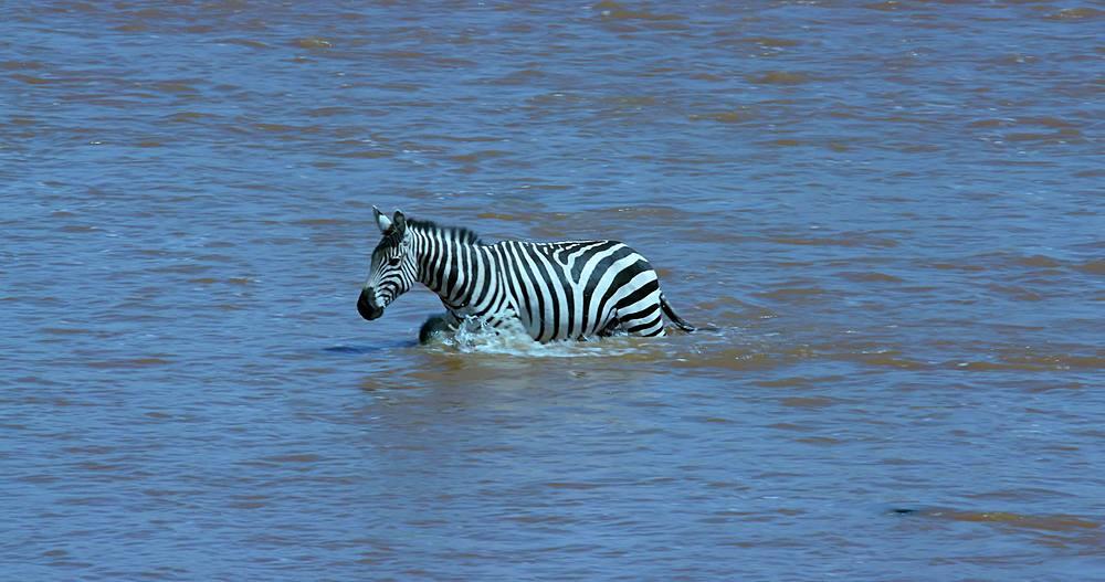 Burchell's zebra crossing mara river; maasai mara, kenya, africa