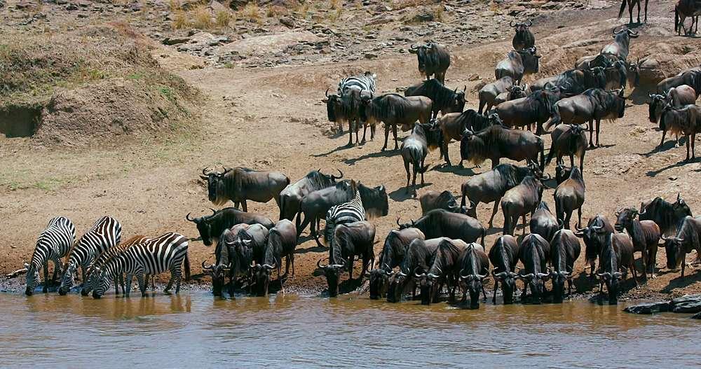 Burchell's zebras & blue wildebeest drinking in mara river; maasai mara, kenya, africa