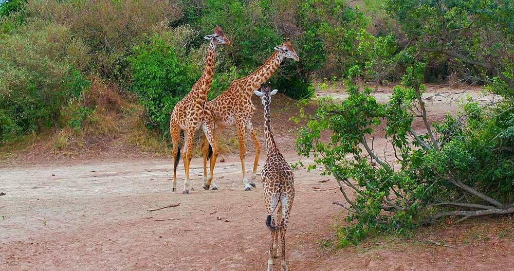 Young maasai giraffes fighting; maasai mara, kenya, africa - 1130-6358