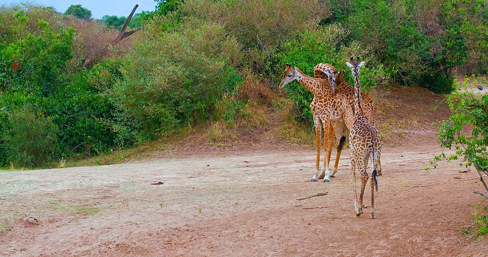 Young maasai giraffes fighting; maasai mara, kenya, africa - 1130-6359