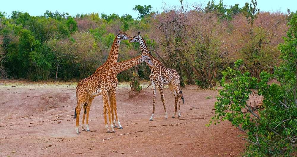 Young maasai giraffes fighting; maasai mara, kenya, africa - 1130-6363