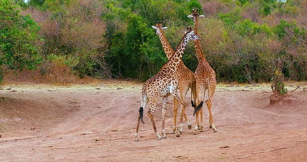 Young maasai giraffes turning; maasai mara, kenya, africa