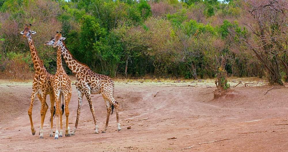 Young maasai giraffes fighting; maasai mara, kenya, africa - 1130-6366