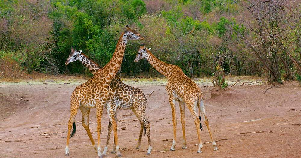 Young maasai giraffes fighting; maasai mara, kenya, africa - 1130-6367