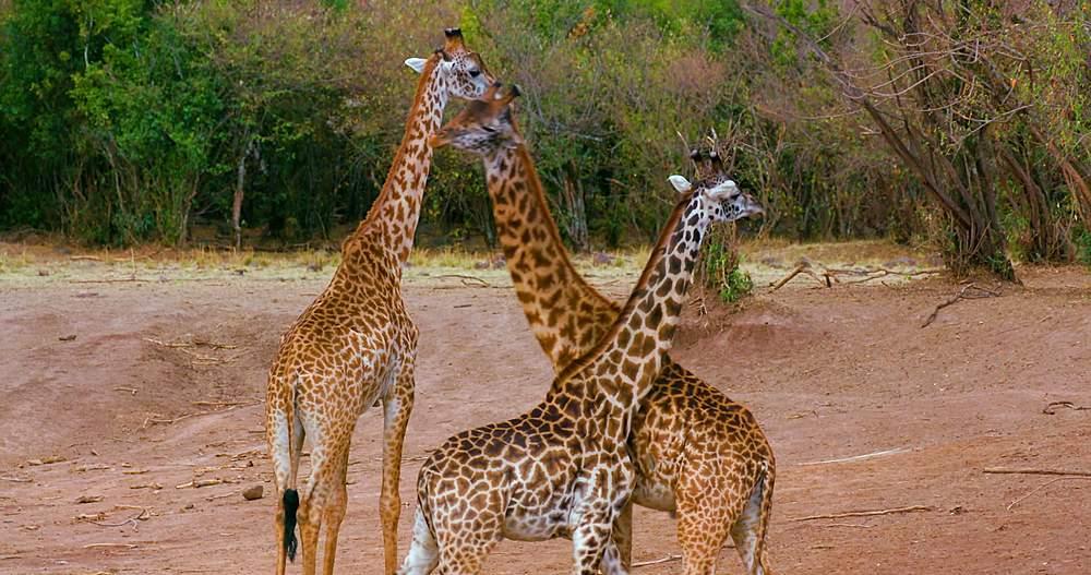 Young maasai giraffes fighting; maasai mara, kenya, africa