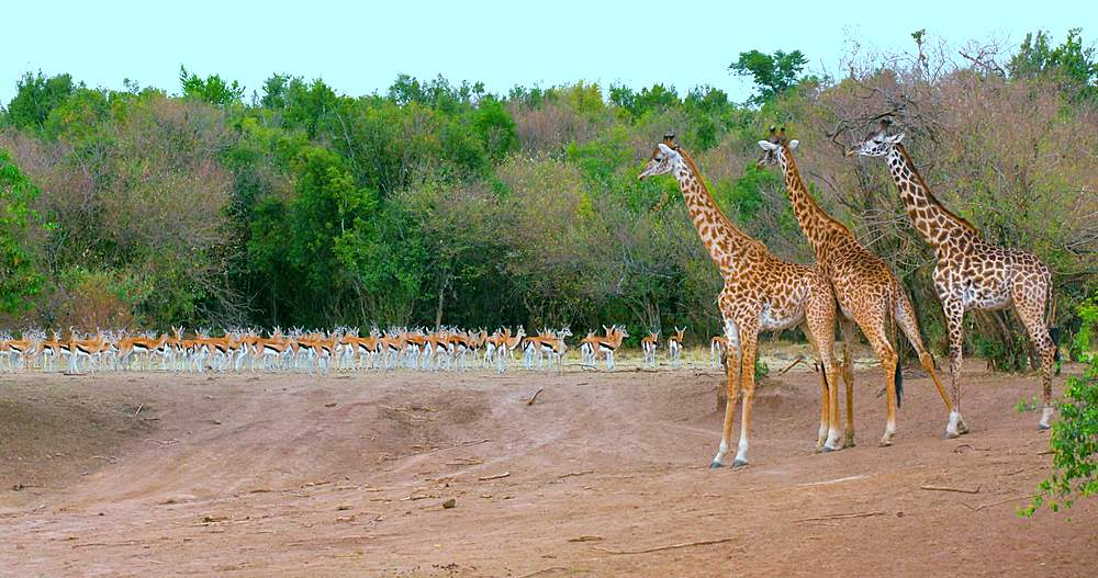 Young maasai giraffes & thomson's gazelles; maasai mara, kenya, africa