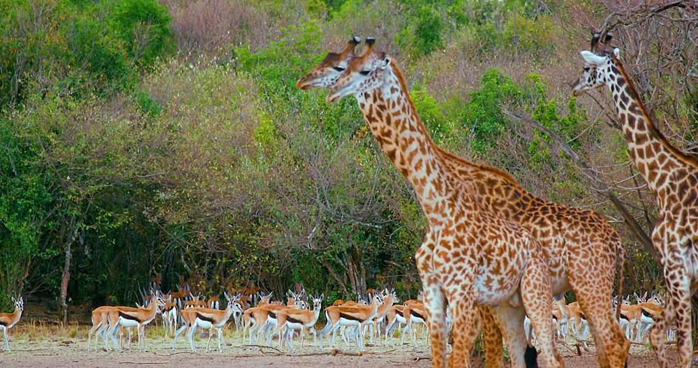 Young maasai giraffes & thomson's gazelles; maasai mara, kenya, africa - 1130-6370
