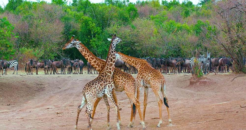 Young maasai giraffes play fighting; maasai mara, kenya, africa - 1130-6372