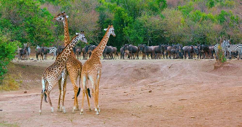3 young maasai giraffes; maasai mara, kenya, africa