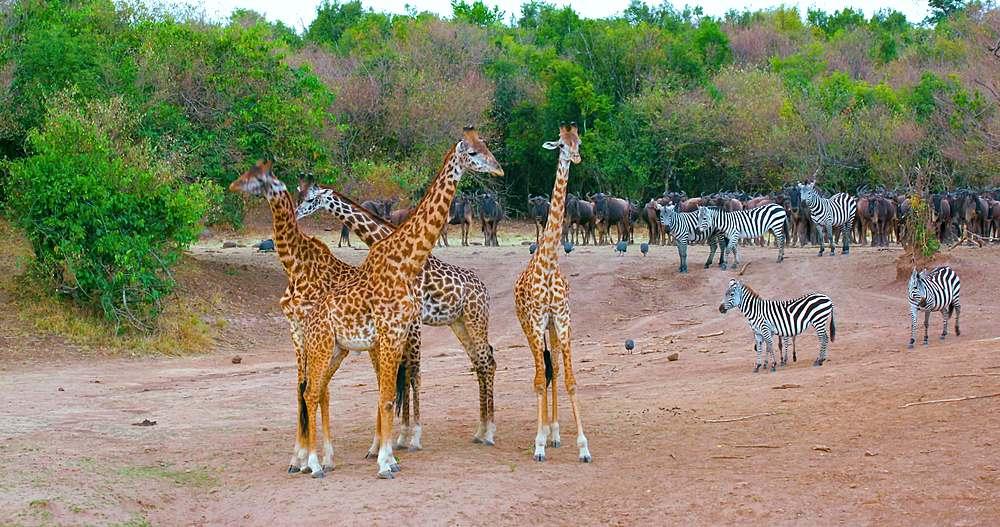 Maasai giraffes, burchell's zebras & blue wildebeest; maasai mara, kenya, africa