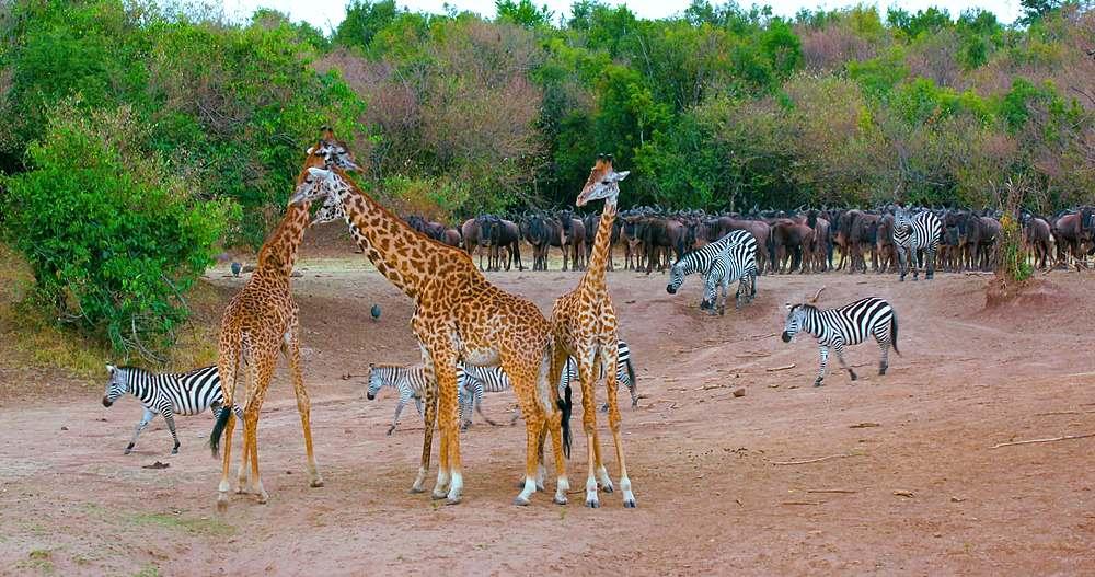 Maasai giraffes, burchell's zebras & blue wildebeest; maasai mara, kenya, africa - 1130-6377