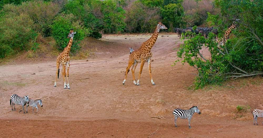 Maasai giraffes & burchell's zebras on riverbank; maasai mara, kenya, africa