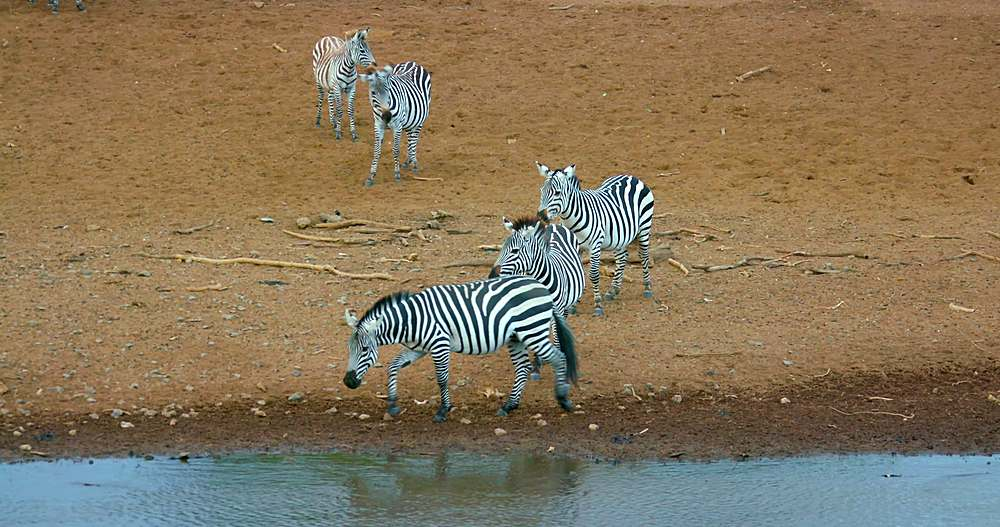 Burchell's zebras on riverbank; maasai mara, kenya, africa