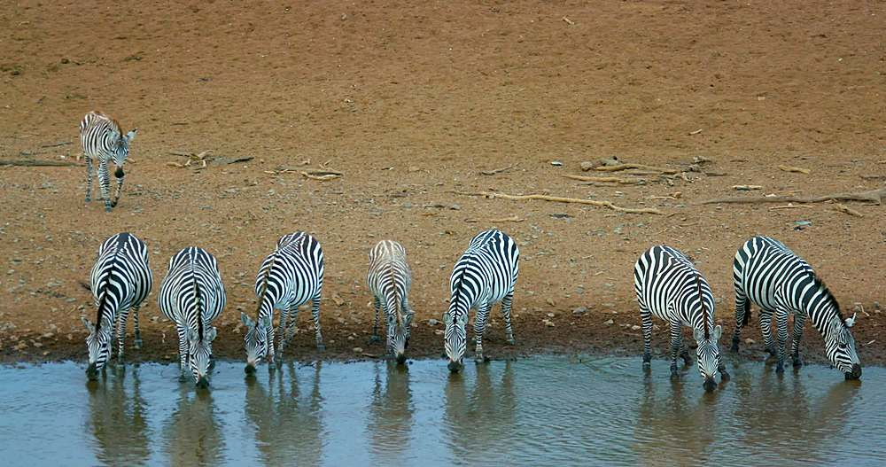 Burchell's zebras drinking on riverbank; maasai mara, kenya, africa