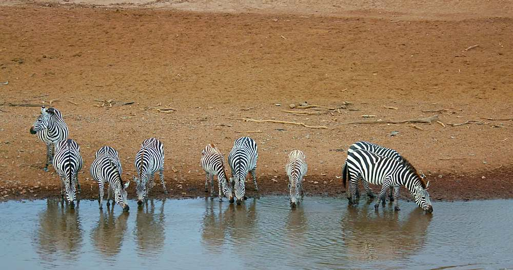 Burchell's zebras on riverbank; maasai mara, kenya, africa - 1130-6382