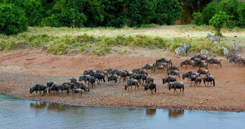 Blue wildebeest gathering on riverbank; maasai mara, kenya, africa - 1130-6383
