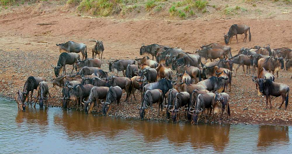 Blue wildebeest drinking at riverbank; maasai mara, kenya, africa