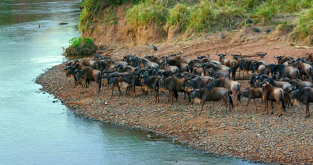Blue wildebeest gathering on riverbank; maasai mara, kenya, africa - 1130-6385