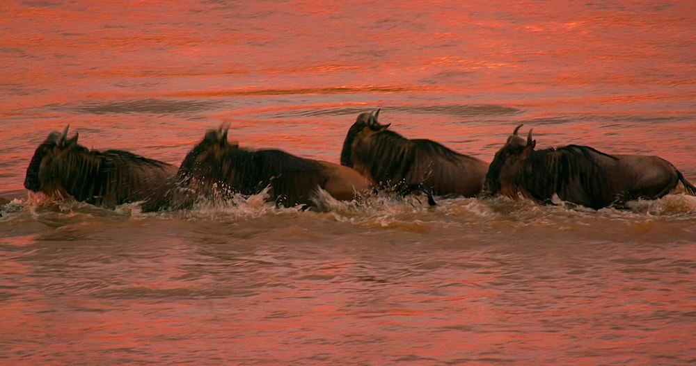 Blue wildebeests crossing mara river at sunset; maasai mara, kenya, africa - 1130-6390