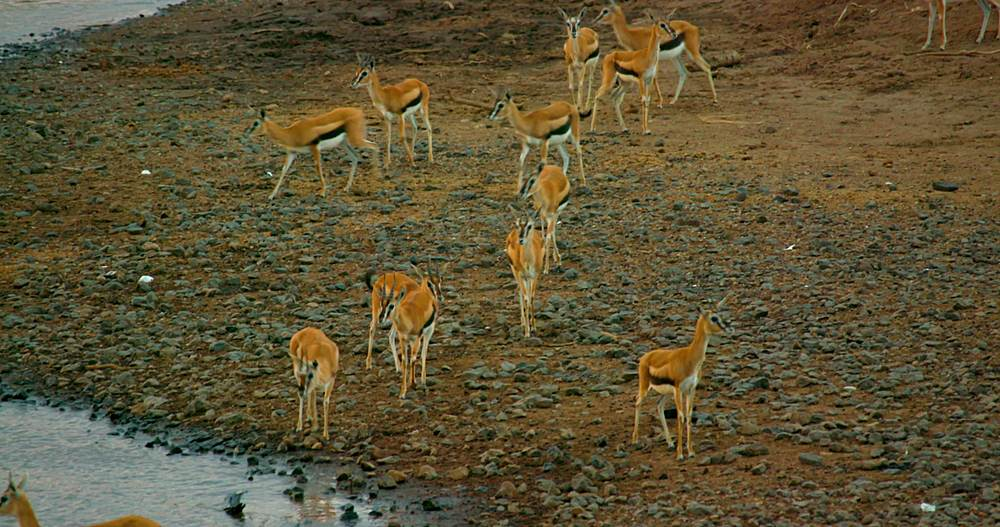 Thomson's gazelles on river bank; maasai mara, kenya, africa