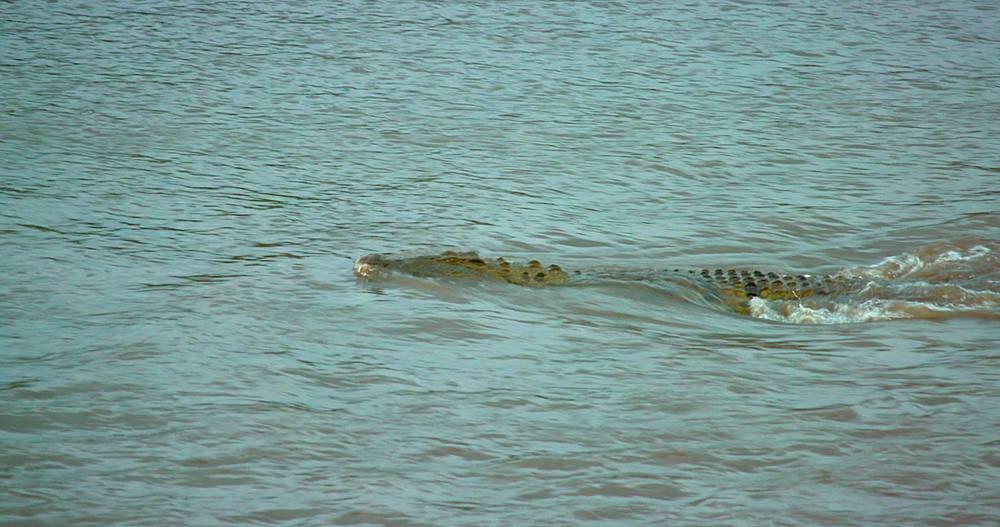 Nile crocodile chases thomson's gazelle; maasai mara, kenya, africa