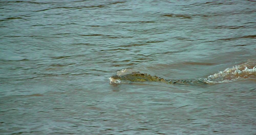 Nile crocodile swims fast in mara river; maasai mara, kenya, africa