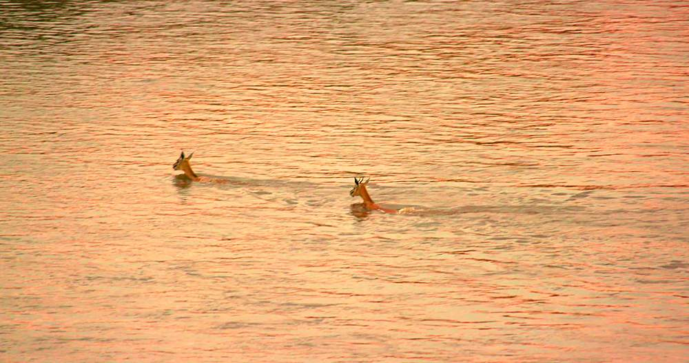 Thomson's gazelles crossing mara river at sunset; maasai mara, kenya, africa