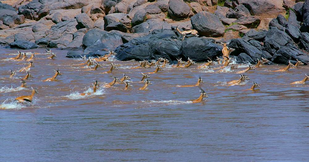 Herd of thomson's gazelles crossing mara river; maasai mara, kenya, africa - 1130-6422