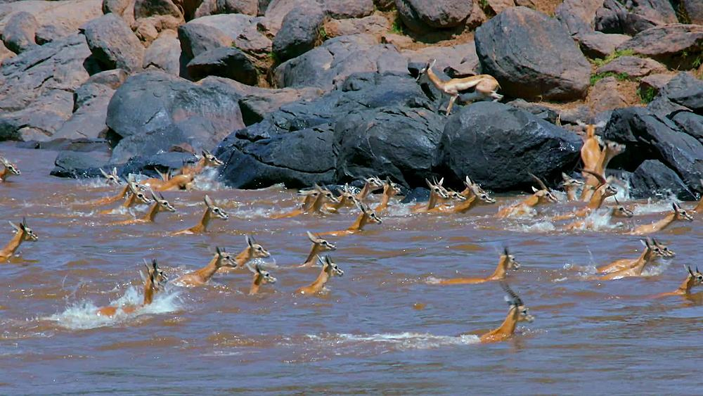 Herd of thomson's gazelles crossing mara river; maasai mara, kenya, africa - 1130-6425