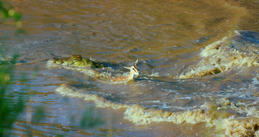 Nile crocodiles attack thomson's gazelles in mara river; maasai mara, kenya, africa - 1130-6429
