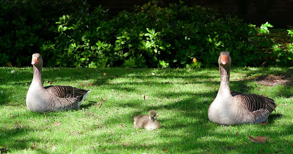 Greylag geese with chick, york city centre, York, North Yorkshire, United Kingdom - 1130-6455