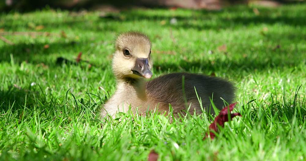 Greylag goose chick, york city centre, York, North Yorkshire, United Kingdom - 1130-6458