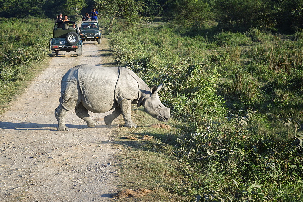 Young Indian rhinoceros (Rhinoceros unicornis) crossing a road in front of a vehicle with tourists, Kaziranga, Assam, India, Asia