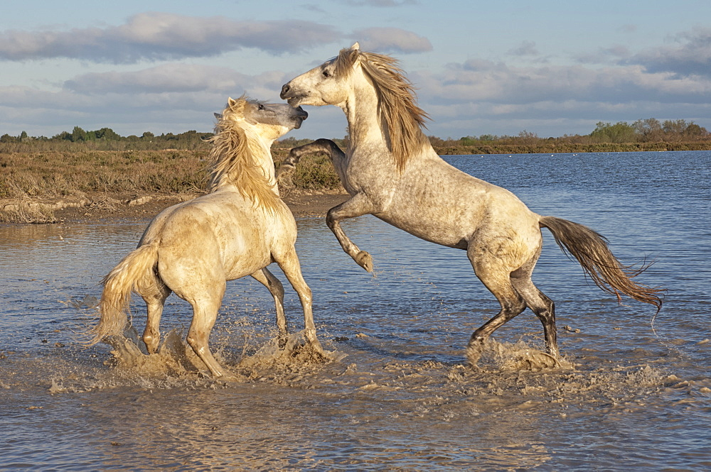 Camargue horses, stallions fighting in the water, Bouches du Rhone, Provence, France, Europe  - 1131-101