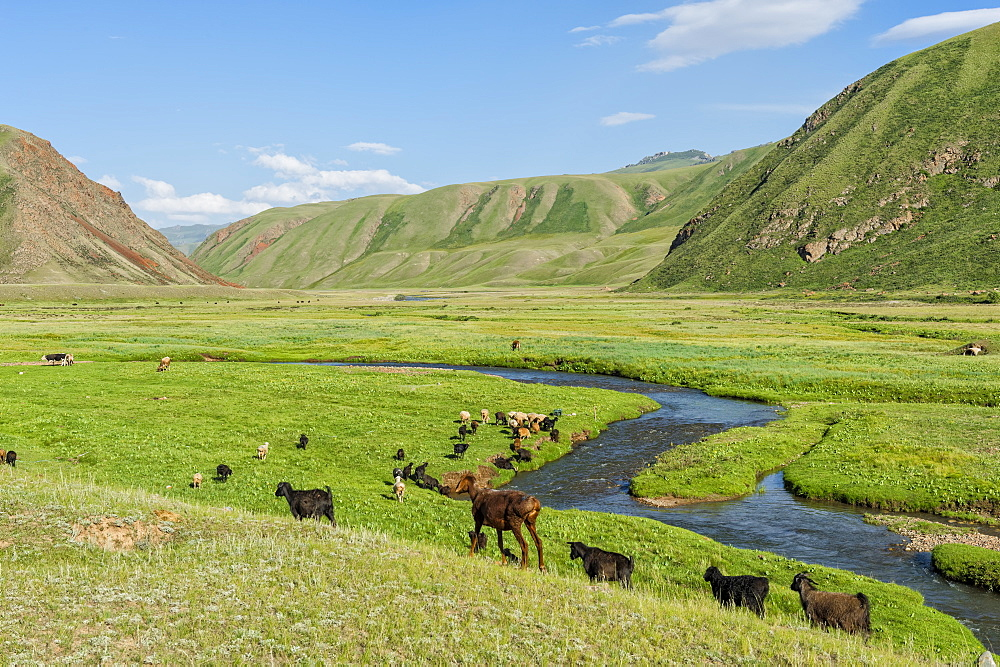 Goat herd grazing along a mountain river, Naryn Gorge, Naryn Region, Kyrgyzstan, Central Asia, Asia - 1131-1084