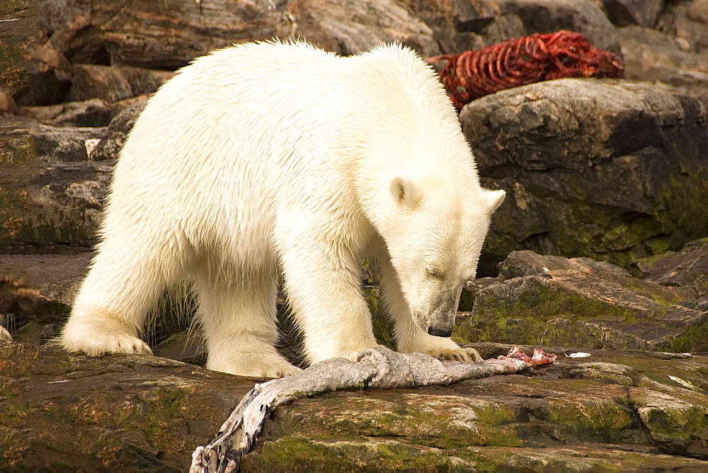 Polar bear feeding on a seal carcass, Button Islands, Labrador, Canada, North America