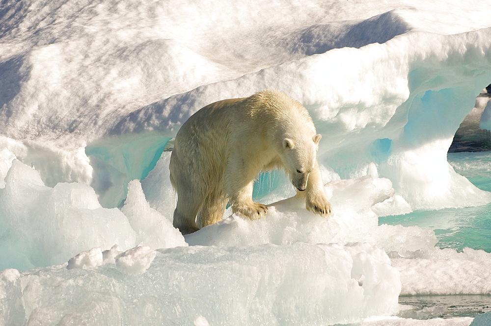 Polar bear on floating ice, Davis Strait, Labrador See, Labrador, Canada, North America