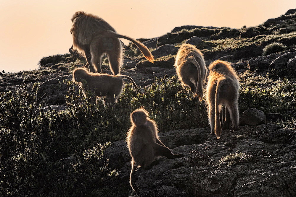 Gelada baboons (Theropithecus Gelada) on a cliff at sunset, Simien Mountains National Park, Amhara region, North Ethiopia, Ethiopia, Africa