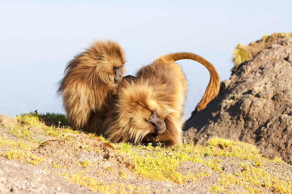 Gelada baboon (Theropithecus Gelada) grooming each other, Simien Mountains National Park, Amhara region, North Ethiopia, Africa