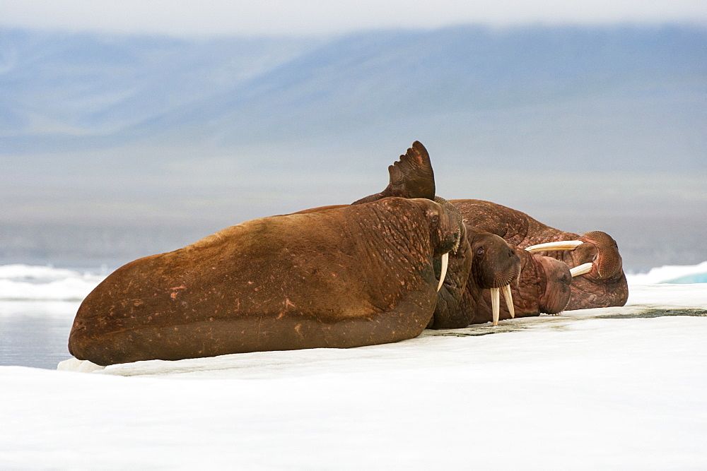 Group of walrus (Odobenus rosmarus) resting on the ice, Cape Waring, Wrangel Island, UNESCO World Heritage Site, Chuckchi Sea, Chukotka, Russia, Eurasia